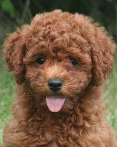Omggggg it's a double-mini goldendoodle. (A mini goldendoodle bred with a mini poodle; 15-30 pounds.) So so so so so so so cute.