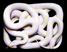 lavender king snake. almost bought one of these