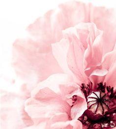 Pastel poppy.