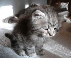 Maine Coon kitten IV by LanimilbuSx.deviantart.com on @deviantART