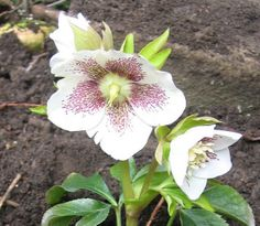White Speckled Hellebour | Flickr - Photo Sharing! Girl Photos, Flowers, Plants, Style, Girl Pics, Swag, Girl Photography, Plant, Royal Icing Flowers