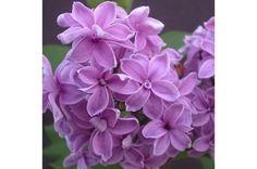 Lilas de Rouen Duplex | Aussi connu sous le nom Lilas de Rouen, ce beau lilas est une espèce rare. Cet arbuste produit de belles grosses panicules de fleurs doubles rouge lavande de la mi-mai à juin. Ses branches étalées et gracieuses en font un excellent choix pour les écrans et les haies. Ses fleurs coupées rempliront votre maison de son merveilleux parfum. Il atteint au plus 10 pieds de haut et s'étale sur 8 pieds. Lavender Flowers, Cut Flowers, Branches, Syringa, Duplex, Hedges, Shrubs, Perennials, Fragrance