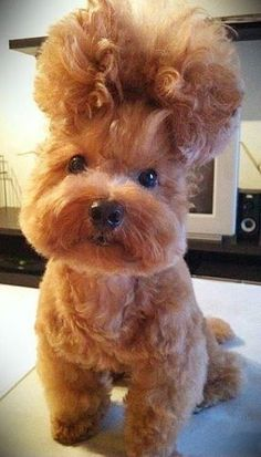 How a Poodle puts their hair up. what do you think???
