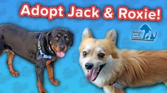 Adopt Jack & Roxie! // Pom-Chi & Rottweiler // Adoptable Featurette… #funnypetvideos #funnyanimals