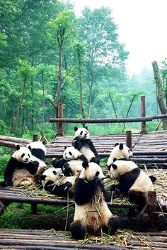 Gathering of adolescent giant pandas at the 'falling in love' breeding period