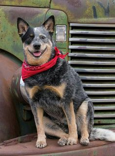 Blue Heeler on Old Truck by Debra Klecan