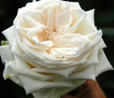 White O& Garden Rose - it really looks like this! Barely a whisper of b. - White O& Garden Rose – it really looks like this! Barely a whisper of b… White O& Garden Rose – it really looks like this! Barely a whisper of blush. David Austin, Cream Roses, White Roses, White Peonies, White Flowers, O Hara Rose, Parfum Flower, Types Of Roses, Flower Types