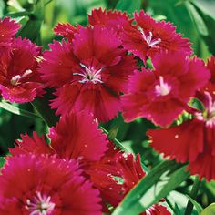 Pinks are grown for their pink, white, or red spicy fragrant flowers and their often-evergreen clumps or mats of gray-blue, grassy leaves: http://www.bhg.com/gardening/flowers/annuals/best-annuals-for-cutting/?socsrc=bhgpin032315pinks&page=5