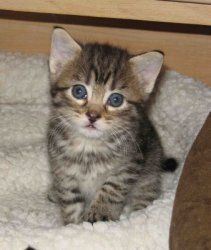 I want Jasmine: Tabby - Brown, Cat;