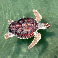 Tortuga, Mar, Boba, Reptil, Natación, Young, Menores