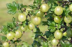 Ez az apró gyümölcs a világ egyik legerősebb antioxidánsa 20x annyi c-vitamin van benne, mint a narancsban! Nyomj egy lájkot ,ha Te is szereted..