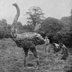 A reconstruction of a moa hunt. Extinct in 1400