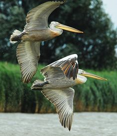 Pelicans in the Danube Delta ♦ Romania