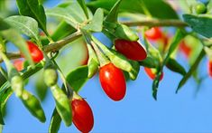 Goji berries, or wolfberries, have been used in traditional Chinese medicine for thousands of years. They were one of the first natural products to . For Your Health, Health And Wellness, Benefits Of Berries, Can Dogs Eat, Traditional Chinese Medicine, Healthy Fruits, Eating Healthy, Healthy Food, Vegetable Garden