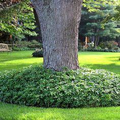 3 X PACHYSANDRA TERMINALIS 'GREEN CARPET' JAPANESE SPURGE EVERGREEN PLANT IN POT