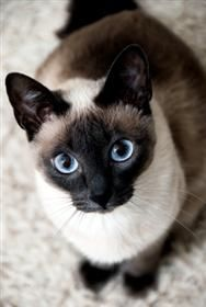 "Siamese - The Siamese is distinguished by its brilliant blue eyes and its colored ""points"" which provide a striking contrast to its light-colored body.  Today's Siamese display a very long slender body type and a long wedge-shaped head and huge ears.  Siamese are recognized in the seal, chocolate, blue, and lilac points."