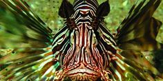 Lion Fish - MACO Caribbean