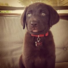 Chocolate Labrador Retriever...can't wait to add Lambeau to our family! :)