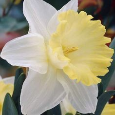 A new variety with pure white peranth and a giant pale lemon trumpet. Daffodils, Daffodil Flowers, Spring Bulbs, Dark Winter, Bulb Flowers, Spring Has Sprung, Flower Beds, Spring Flowers, Orchids