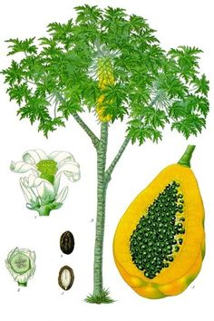 Natural Male Birth Control – Papaya Seeds as a Contraceptive for Men? |