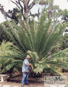 Encephalartos whitelockii.  This is a large, fast growing Central African cycad.  As you can see it is an impressive landscape cycad and is good in most tropical and warmer temperate climates.