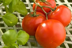 If your tomato plant still has fruit when the first hard frost threatens, pull up the entire plant and hang it upside down in the basement or garage. Pick tomatoes as they redden. I HAVE NEVER HEARD THIS BEFORE.