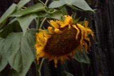 'Sunflower Framed Print by Robert Craig Framed Prints, Canvas Prints, Art Prints, Art Boards, Plants, Art Impressions, Photo Canvas Prints, Planters, Plant