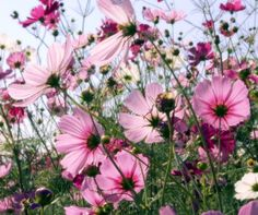 Cosmos - these would look nice in the cut flower garden.