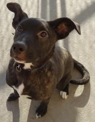 Olivia is an adoptable Pit Bull Terrier Dog in Emporia, KS.  ... sweet girl that needs someone to love! Olivia is a pittie mix on the smaller size, beautiful brindle coloring. She gets along with most other dogs , a meet and greet is best if you have other pets.