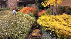 The Look Of Autumn, love these autumn colors from rosemary, japanese maple, nandina and ginko tree