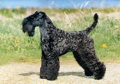 Kerry Blue Terrier dog art portraits, photographs, information and just plain fun. Also see how artist Kline draws his dog art from only words at drawDOGS.com #drawDOGS http://drawdogs.com/product/dog-art/kerry-blue-terrier-dog-portrait-by-stephen-kline/ He also can add your dog's name into the lithograph.