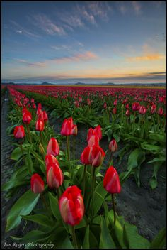 Field Of Dreams - Skagit Tulip Festival, Washington