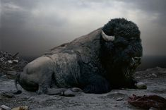 Simen Johan, Imaginary Animal Kingdom, Picture of a constructed image of a buffalo sitting in what looks like a desert of ash