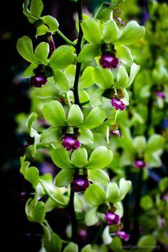 Dendrobium Orchid Singapore Flower by DonaldChen