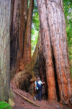 Redwood National Forest. I want to spend the day sitting in the shade of a tree that is larger than life. It's good to feel tiny once in a while.