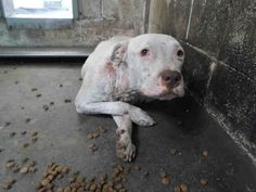 ***RESCUE ONLY*** ((URGENT)) Female, white and brown brindle Pit Bull Terrier at San Bernardino, CA. City Animal Control at (909) 384-1304 Ask for information about animal ID number A450404 PLEASE SHARE THIS SCARED GIRL FIND A LOVING FUREVER HOME. www.PetHarbor.com pet:SBCT.A450404 REPIN SHARE EVERYWHERE...SAVE HER LIFE!