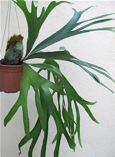 Revitalize your Stag horn fern with Banana Peels. Eat a Banana. Then lay the banana peel on the dirt or moss in your hanging basket and let nature do its job. The banana peel will breakdown slowly into compost and in so doing release nutrients your stag horn fern will love.
