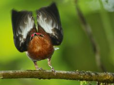 Photograph by Tim Laman    A club-winged manakin lifts its wings to make music.    Machaeropterus deliciosus
