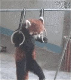 Red Panda Pull-Ups. Buildin' dat muscle