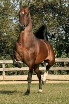 """""""Tennessee Walker or American Saddlebred? Have seen posted as both."""" Def a saddlebred, walkers don't usually naturally trot, especially like that. All The Pretty Horses, Beautiful Horses, Animals Beautiful, He's Beautiful, Horses And Dogs, Show Horses, Tennessee Walking Horse, Appaloosa Horses, Breyer Horses"""