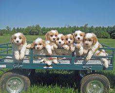 Cavachon Puppies. Resistance is futile.