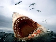 Great White Shark - they keep distance from humans and aren't aggressive to them unless provoked first.