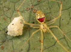Hawaiian Happy-Face Spider