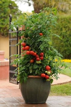 Grow Organic Tomatoes Growing tomatoes in pots is one way to enjoy fresh tomatoes, even if you've never gardened before! Growing tomatoes in containers is useful, too, when you have limited space. Growing Tomatoes Indoors, Growing Tomato Plants, Growing Tomatoes In Containers, Grow Tomatoes, Potted Tomato Plants, Patio Tomatoes, Growing Vegetables In Pots, Pot Plants, Fall Plants