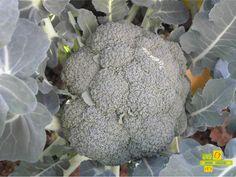 El brocoli, tan querido y tan odiado, pero lo que no se le puede negar es que es un super alimento, muy completo. http://www.lahuertadeanamary.com/hortalizas-y-conservas/hortalizas-2/coles-1/brocoli-1.html