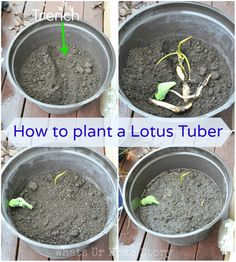 how to plant a lotus tuber