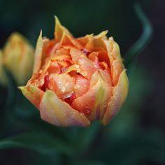 Willem van Oranje tulp I by Wicher Bos, via 500px