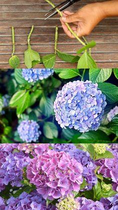 Growing Flowers, Growing Plants, Planting Flowers, Flower Gardening, Growing Orchids, Flowers Garden, Spring Flowers, Propagating Hydrangeas, How To Grow Hydrangeas