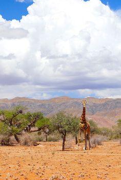 Giraffe #Desert #Wildlife #Namibia #Travel
