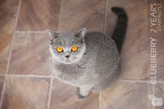 http://starfall.lt/cats/blueberry/  Our british shorthair girl